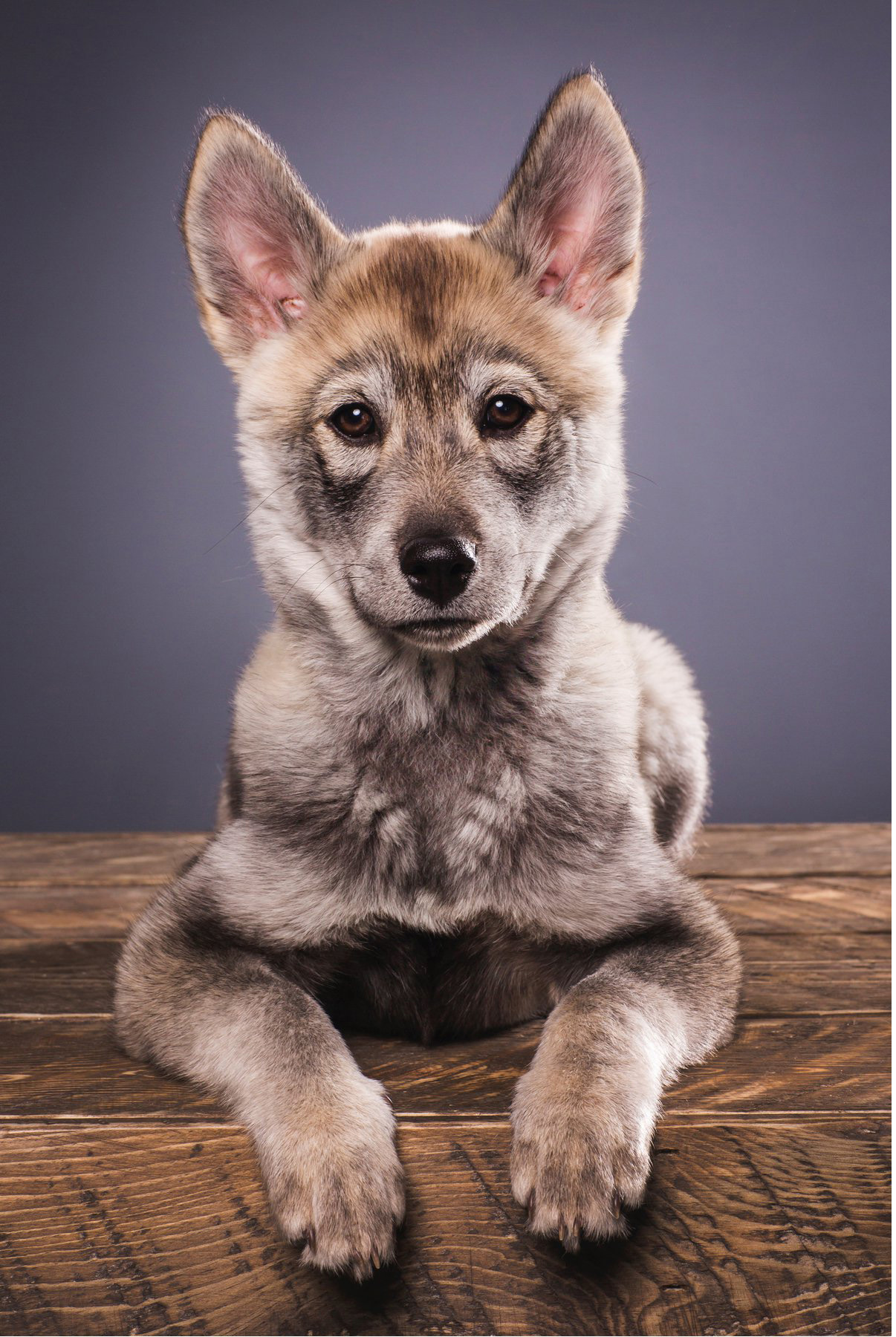 coloradopetphotographerstudiohuskiepuppy
